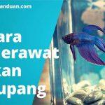 Panduan cara merawat Ikan Cupang termahal dan tercantik di dunia